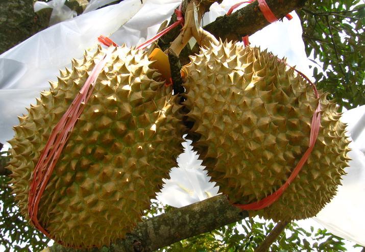 Jual Bibit Durian Montong Harga Murah