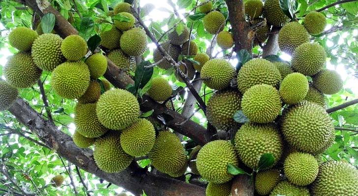 Grosir Bibit Durian Montong Harga Murah