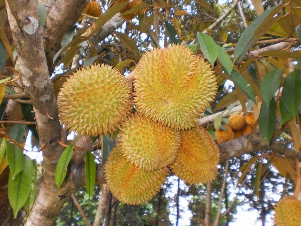 Harga Bibit Durian Montong Murah Dan Berkualitas