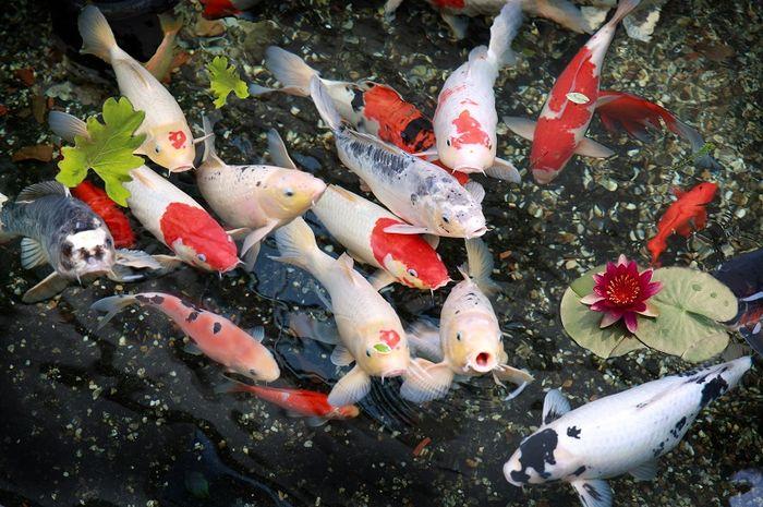 Grosir Bibit Ikan Koi Harga Terbaru