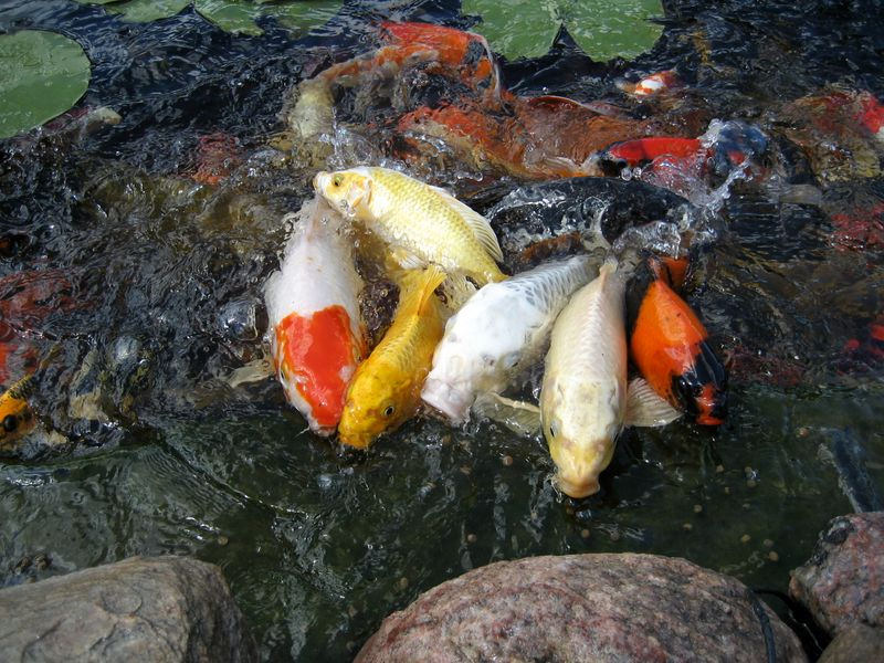 Jual Ikan Koi Kediri Terlengkap
