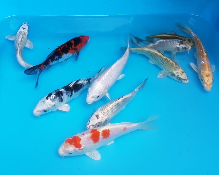 Jual Ikan Koi Harga Terbaru Murah