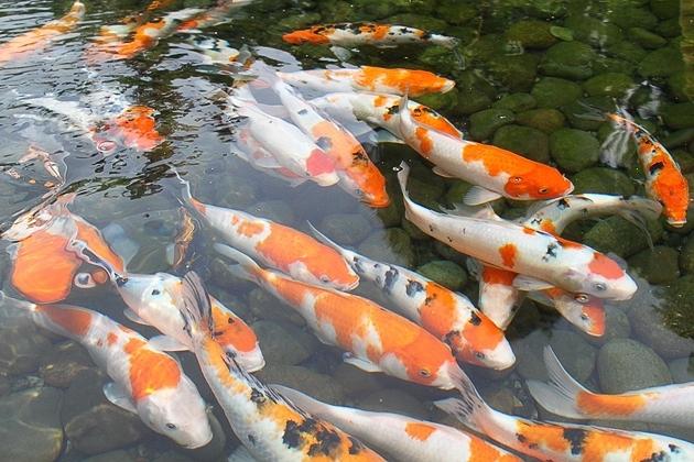 Panduan Teknis Jual Ikan Koi