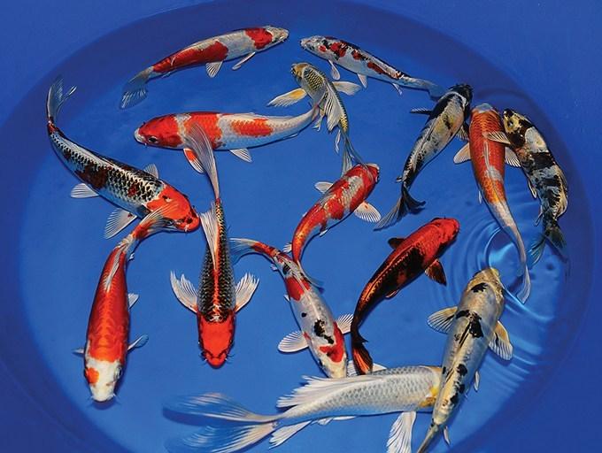 Bibit Ikan Koi Kualitas Unggul Siap Kirim
