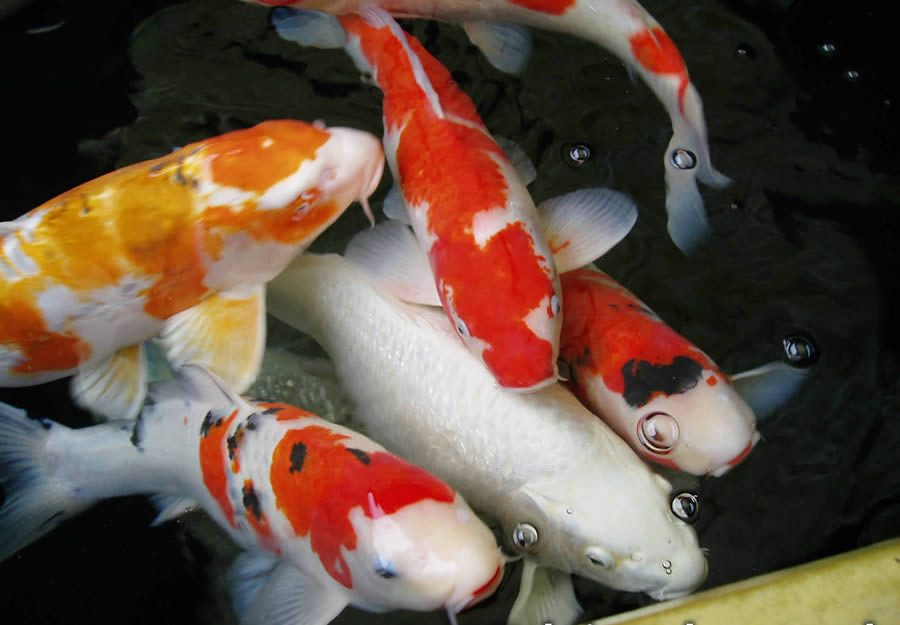 Jual Bibit Ikan Koi Harga Murah