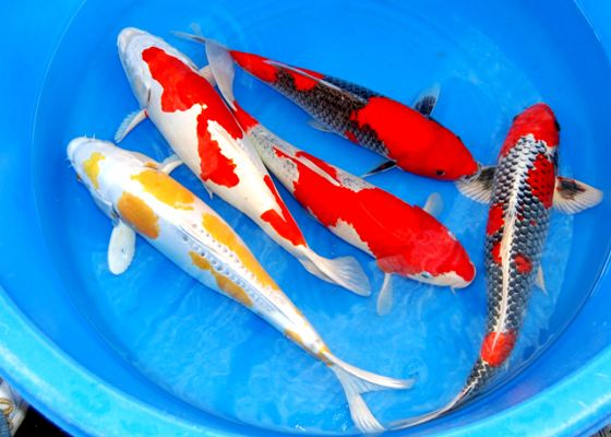Grosir Bibit Ikan Koi Harga Murah